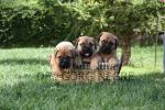 Cachorros de Hans y Neula